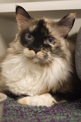 Ginger 0011 (Phil Rose) Tags: cats whatcomehumanesociety fauna feline whs cat