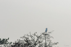 20190104_Montigny-sur-Loing_Grande Aigrette (thadeus72) Tags: ardeaalba ardéidae ardéidés aves birds grandeaigrette oiseaux pélécaniformes westerngreategret