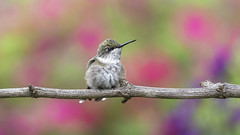 Sometimes You Just Have to Sit_DSC2189 (DansPhotoArt) Tags: hummingbird alert archilocuscolubris aves backyard balance beautiful beijaflores bird bokeh garden fresh free fauna colibris migratory nature nopeople outdoors rubythroatedhummingbird wildlife wings avian ornithology birdwatching wild animal color birds beak black colorful natural little outdoor green hummer perched small summer tiny white wing iridescent shining ruby red pollination pollinator pajarito isolated feather background apodiformes beauty