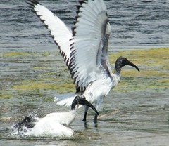 African Sacred Ibis (Threskiornis aethiopicus) (Selina Mochrie) Tags: southafrica capetown bird wildlife nature outdoors species africa