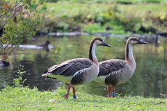 Anglų lietuvių žodynas. Žodis swan-goose reiškia gulbė-žąsis lietuviškai.