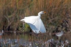 cattle egret (DODO 1959) Tags: wildlife cattleegret avian animal outdoor nature fauna flight heron birds wales carmarthenshire michaelpowellhide wwt llanelli 100400mmmk2 canon 7dmk2