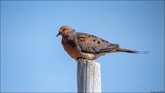 Mourning Dove (Zenaida macroura) (Steve Arena) Tags: racepoint provincetown massachusetts nikon d750 2019 bird birds birding zenaidamacroura mourningdove dove plr rpplr racepointpolelineroad