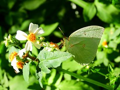 DSCN1962 - #遷粉蝶 (#淡黃蝶) 銀斑型 雄 Catopsilia pomona (Fabricius, 1775)