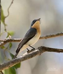 Leaden Flycatcher,female-2019_99A9182 (ozwildbird) Tags: bird flycatcher leadenflycatcher rhipidurarufifrons