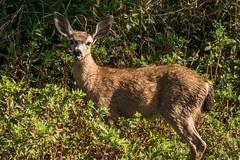 Hoof Stomping Deer (MelRoseJ) Tags: willows california unitedstatesofamerica sacramentonationalwildliferefuge sonyalpha sony sonyilca77m2 sal70200g nature northerncalifornia deer