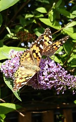 Painted Lady Butterflies (Vanessa cardui) (selinamochrie) Tags: scotland uk invertebrate insect species nature outdoors wildlife