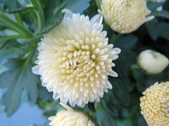 White Mums. (dccradio) Tags: lumberton nc northcarolina robesoncounty outdoor outdoors outside nature natural mum mums flower flowers floral plant bloom blooming blossom blooms blossoming blossoms canon powershot elph 520hs wednesday september evening goodevening wednesdayevening