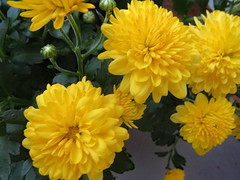 Yellow Mums. (dccradio) Tags: lumberton nc northcarolina robesoncounty outdoor outdoors outside nature natural mum mums flower flowers floral plant bloom blooming blossom blooms blossoming blossoms canon powershot elph 520hs wednesday september evening goodevening wednesdayevening