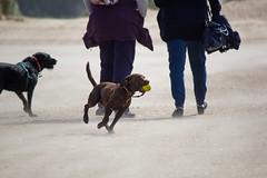 Coco (alasdair massie) Tags: labrador sand beach dog black coco vizsla sea norfolk seaside scarpa wellsnextthesea england unitedkingdom