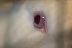 Bunny Eye (Phil Rose) Tags: cats whatcomehumanesociety fauna feline whs cat