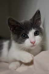 Bubble Tea 0007 (Phil Rose) Tags: cats whatcomehumanesociety fauna feline whs cat