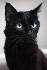 Rafael Salano 0008-1 (Phil Rose) Tags: cats whatcomehumanesociety fauna feline whs cat