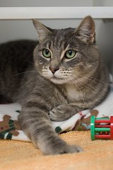 Dingo 0004 (Phil Rose) Tags: cats whatcomehumanesociety fauna feline whs cat