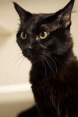 Rafael Salano 0001 (Phil Rose) Tags: cats whatcomehumanesociety fauna feline whs cat