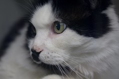 Booger 0003 (Phil Rose) Tags: cats whatcomehumanesociety fauna feline whs cat
