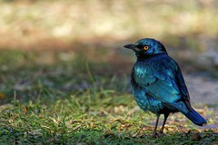 Cape glossy starling (juanita nicholson) Tags: starling capeglossystarling bird nature southafrica