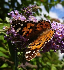 Painted Lady (Vanessa cardui) (selinamochrie) Tags: scotland uk invertebrate insect species nature outdoors wildlife