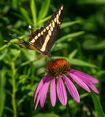 Tip Sip (Portraying Life, LLC) Tags: da3004 hd14tc k1mkii michigan pentax ricoh topazaiclear unitedstates butterfly closecrop handheld nativelighting meadow count coneflower nectar