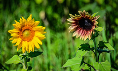 Sunflowers at Burnside Farms Nokesville VA (mbell1975) Tags: nokesville virginia unitedstatesofamerica sunflowers burnside farms va flower flowers flora plant helianthus yellow orange