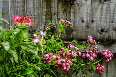 Fiori Da Giardino (federicoloforte) Tags: fiori hdr giardino piantina highdynamicrange altagammadinamica viola rosso verde petali pianta tecnica esposizione cavalletto multiscatto lunga