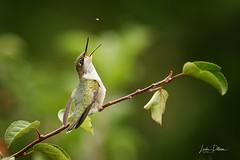 Ruby-Throated Hummingbird (lindapp57) Tags: rubythroatedhummingbird bug insect