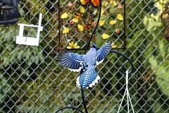 _DSC9934_DxO (Cook photographers) Tags: nikon d850 bird bluejay