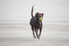 Coco (alasdair massie) Tags: labrador dog coco beach sand sea norfolk seaside wellsnextthesea england unitedkingdom