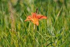 orland park grasslands. july 2019 (timp37) Tags: orland park grasslands july 2019 illinois flower