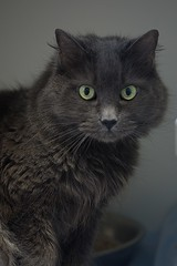 Fuzz 0011 (Phil Rose) Tags: cats whatcomehumanesociety fauna feline whs cat
