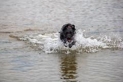 Playing in the sea (alasdair massie) Tags: labrador dog black vizsla sea norfolk seaside scarpa kingslynn england unitedkingdom