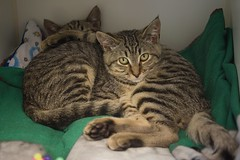 Flannel and Flip 0008 (Phil Rose) Tags: cats whatcomehumanesociety fauna feline whs cat