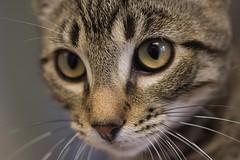 Kiko 0022-1 (Phil Rose) Tags: cats whatcomehumanesociety fauna feline whs cat