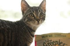 Kiko 0015 (Phil Rose) Tags: cats whatcomehumanesociety fauna feline whs cat