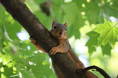 92/366/4109 (September 11, 2019) - Fox Squirrels in Ann Arbor at the University of Michigan - September 11th, 2019