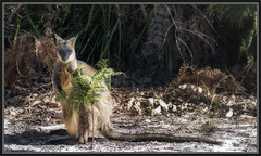 Swamp Wallaby (itsallgoodamanda) Tags: wallabiabicolor swampwallaby australiannativefauna marsupial amandarainphotography australia australianphotography australiassouthcoast shoalhaven spring2019 jervisbayphotography jervisbay jervisbayterritory boodereenationalpark itsallgoodamanda photography photoborder animal