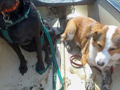 Muddy paws (alasdair massie) Tags: labrador creek sea vizsla burnhamdeepdale river canoe norfolk dog black boat estuary coast brancaster seaside pasha scarpa kingslynn england unitedkingdom
