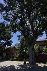 #WinchesterMysteryHouse #SanJose #California (Σταύρος) Tags: hotday sunnyday oldtree bigtree intheshade tree california winchestermysteryhouse sanjose kalifornien californië kalifornia καλιφόρνια カリフォルニア州 캘리포니아 주 cali californie northerncalifornia カリフォルニア 加州 калифорния แคลิฟอร์เนีย norcal كاليفورنيا oldhouse winchester 1884 mansion