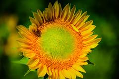 Sunflower at Burnside Farms Nokesville VA (mbell1975) Tags: nokesville virginia unitedstatesofamerica sunflower burnside farms va sunflowers flower flowers flora plant helianthus yellow orange