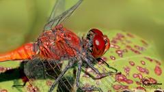 IMG_5057_DxO (sergemarsilloux1) Tags: sympétrumrougesang sympetrumsanguineum libellule insecte toulousefrance jardindelamaourine