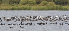 Fall Migration (Peter Stahl Photography) Tags: whitefrontedgeese canadageese snowgeese geese migration