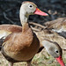 whistling duck 5