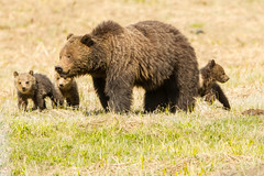 A family affair {Explored} (ChicagoBob46) Tags: explored grizz grizzly grizzlybear cub cubs coy sow bear yellowstone yellowstonenationalpark nature wildlife naturethroughthelens specanimal coth5 explore ngc npc
