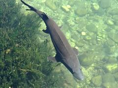 A sunny September day (EcoSnake) Tags: sturgeon whitesturgeon livingfossil prehistoric water wildlife september idahofishandgame naturecenter