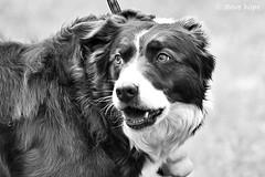 Barton Cruftz 2019 (SteveH1972) Tags: dog dogs animal animals cruftz barton lincolnshire britain england uk 700d 7d 70200 bartoncruftz canon70200 canon700d dogshow show outside outdoor outdoors blackandwhite monochrome bw