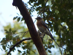 Eastern Bluebird, September 11, 2019, Breckinridge Park, Richardson, Texas (gurdonark) Tags: bird birds wildlife eastern bluebird breckinridge park richardson texas