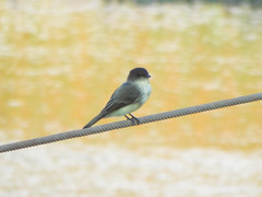 Eastern Phoebe, September 11, 2019, Shawnee Park, Plano, Texas (gurdonark) Tags: eastern phoebe bird birds wildlife shawnee park plano texas