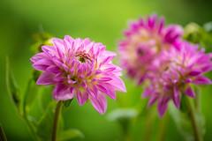 dahlia 2477 (junjiaoyama) Tags: japan flower dahlia plant summer pink bokeh macro