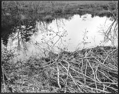 wetlands, reflections, fallen branches, near Spruce Head, Maine, Koni Omega Rapid 200, Super Omegon 90mm f-3.5, Kodak TMAX 400, HC-110 developer, August 2019 (steve aimone) Tags: wetlands reflections fallenbranches nearsprucehead maine koniomega koniomegarapid200 superomegon90mmf35 primelens kodaktmax400 hc110developer 120 120film film mediumformat monochrome monochromatic 6x7