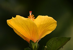 Yellow hibiscus (gary_photog) Tags: hibiscus flower bokeh yellow fantasticnature coth coth5 ngc